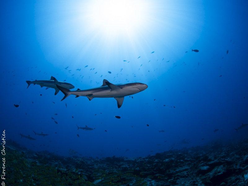 Des requins gris et du bleu