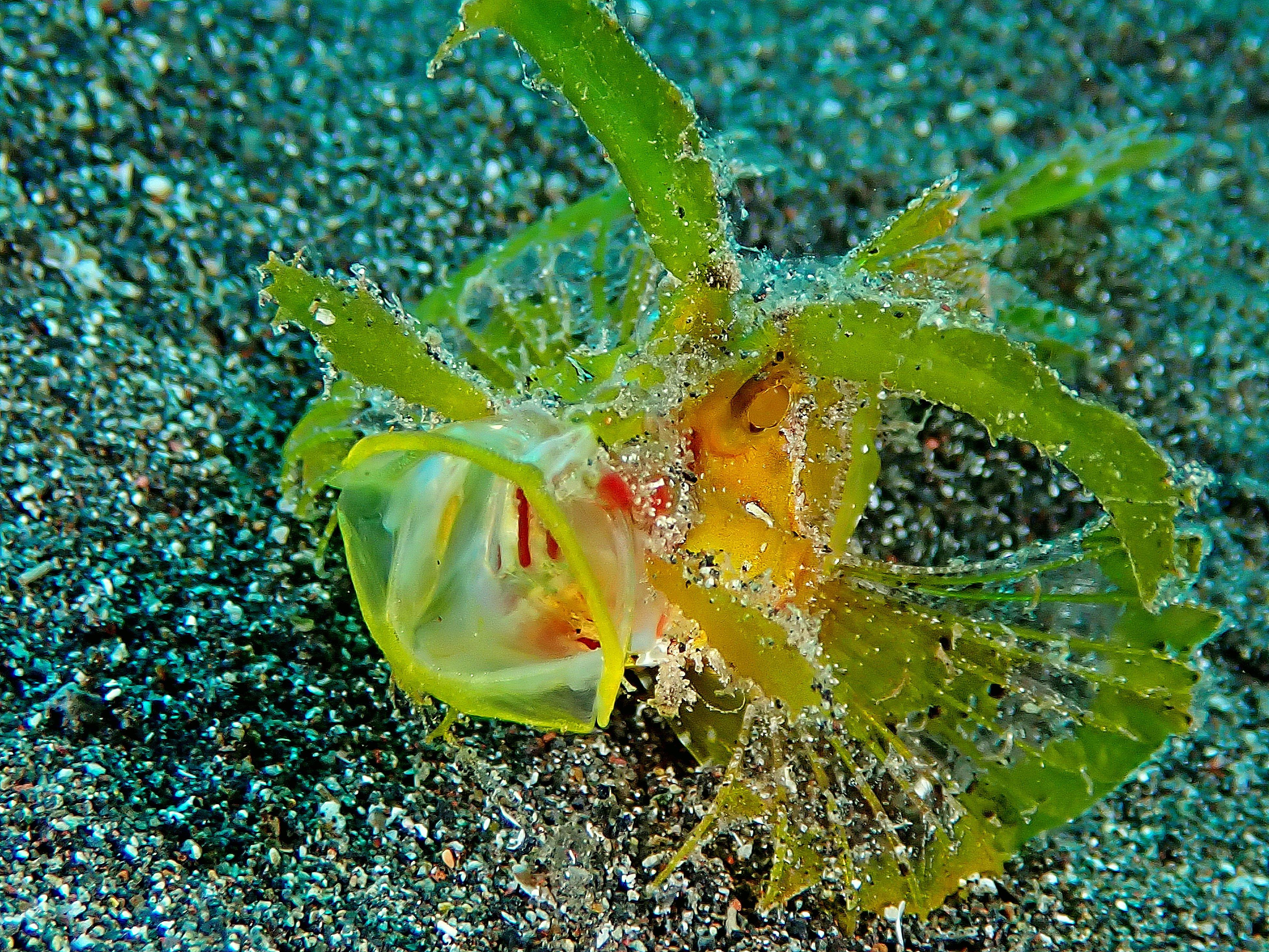 Ambon scorpionfish de Lembeh