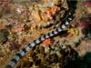 Tricot rayé, Laticauda laticaudata