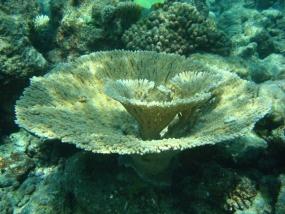 Corail tabulaire géant