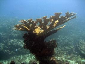 Corail corne d'élan