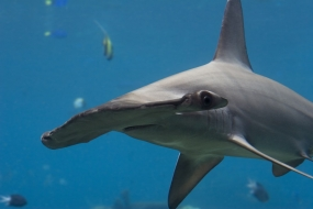 Requin marteau halicorne