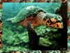 tortue guadeloupe