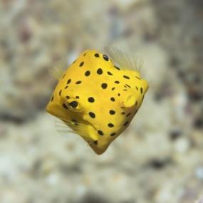Poisson coffre jaune