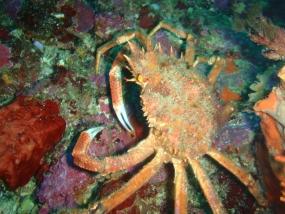 Araignée de mer (grande)