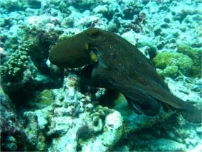 Poulpe de récif commun