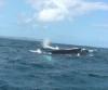 Baleine a bosse république dominicaine