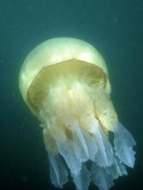 Grande méduse bleutée
