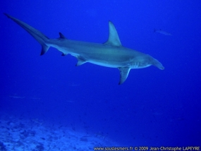 Grand requin marteau