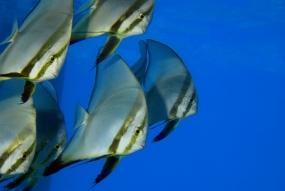 Platax à longues nageoires