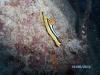 Nudibranches  chromodoris quadricolor