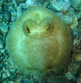 Oursin des sables
