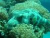 Gros dodo - Mer rouge Eilat - Israël