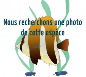 Poisson-perroquet feu