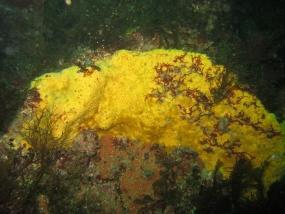 Eponge clione jaune