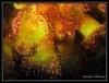 anemones bijoux