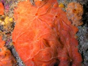 Eponge encroûtante orange-rouge