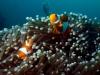 Poisson-clown à trois bandes, Anemone reef, Thaïlande