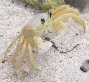Crabe fantôme