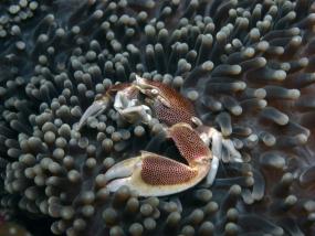 Crabe porcelaine des anémones