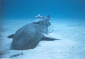 Requin dormeur du Pacifique