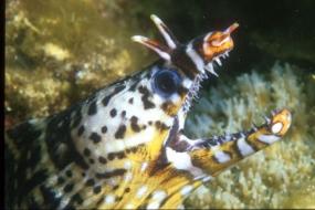Murène Dragon de l'océan indien