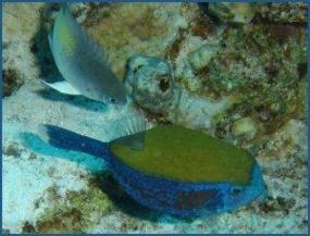 Poisson-coffre à points bleus