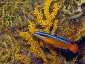Pseudochromis d'Arabie