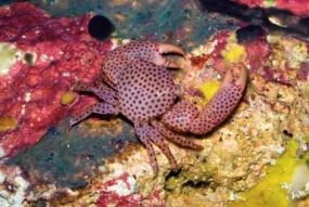 Crabe de corail pointillé