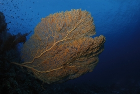 Gorgone géante de mer Rouge