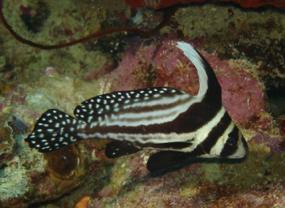poisson chevalier