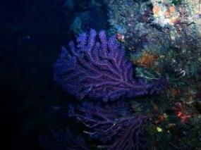 gorgone bleue