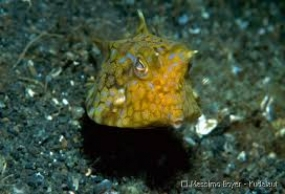 Thornback Boxfish