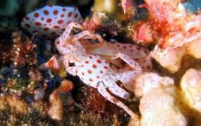 Crabe de corail à points rouges