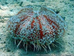 oursin cuir de la Mer Rouge