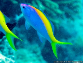 ANTHIAS A QUEUE JAUNE