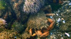crabe araignée mâle