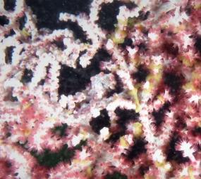 Hippocampe pygmée