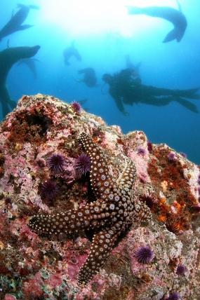 Etoile de mer commune